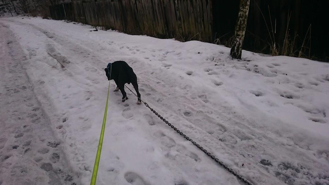 pitbull trening chain pulling