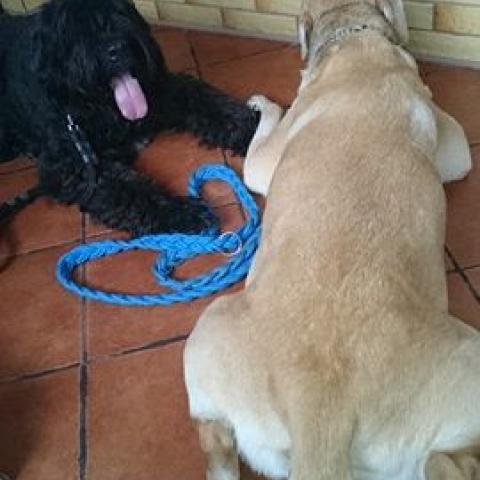 Labrador Fado, Bouvier Roxi po spacerze
