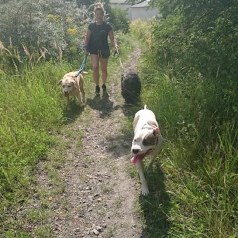 Amstaff Teqi, Labrador Fado, Bouvier des Flanders Roxi na spacerze