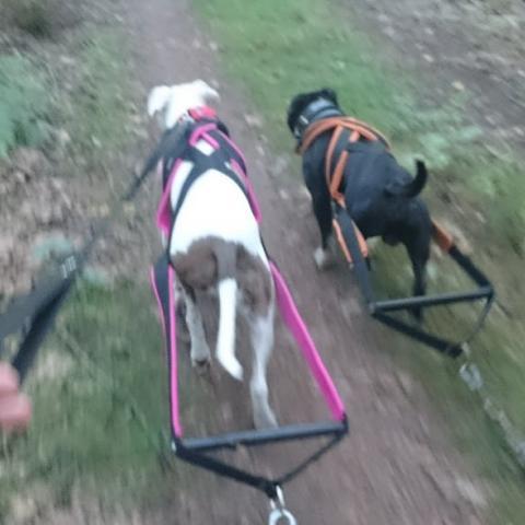 Staffik Kiler & Amstaff Teqi, trening weight pulling