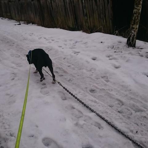 Pitbull DEXTER trening chain pulling