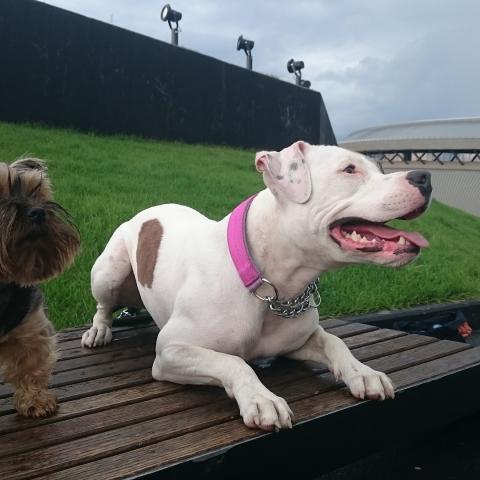 Yorkshire Terrier Dusiek & Amstaff Teqi