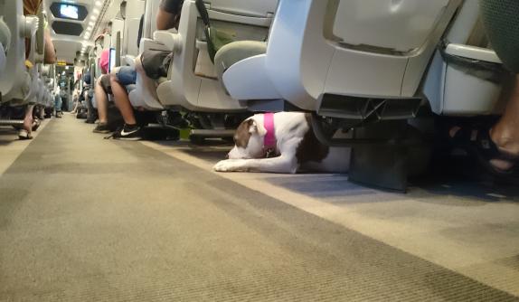 Amstaff w podróży pociągiem