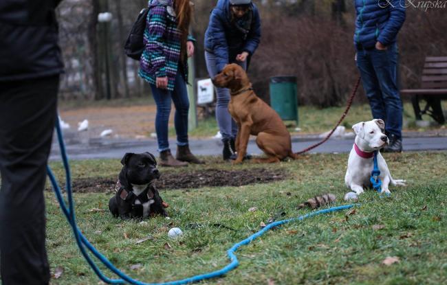 socjalizacja amstaffa z innymi psami