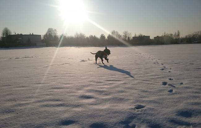 amstaff biega po śniegu