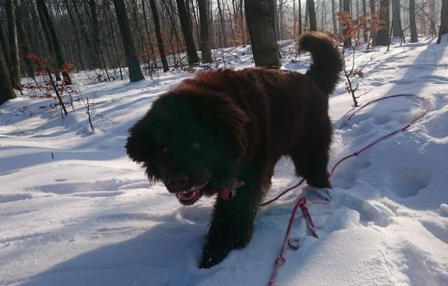 nowofundland spacer w lesie