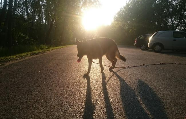 owczarek niemiecki o zachodzie słońca